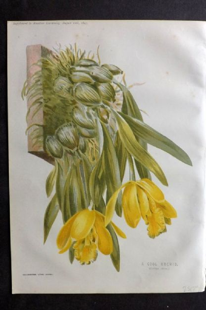 Amateur Gardening 1895 Botanical Print. A Cool Orchid. Catleya Citrina